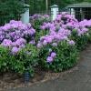 Rododendronai