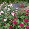 Rožynas